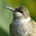 This juvenile male ruby throated hummingbird does not have its red throat yet