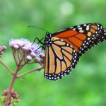 An adult monarch gathers nectar from a mist flower in our yard