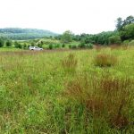 The old field showing a zone on the right with little bluestem grass and three species of orchids