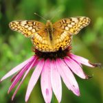 A variegated fritillary butterfly sips nectar from a purple coneflower