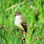 A willow flycatcher in our VA yard