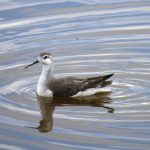 A Wilson's phalarope feeding on brine shrimp with a distinctive whirling motion