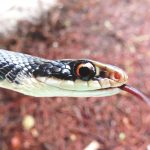 The black racer is a mostly terrestrial snake  that moves very fast
