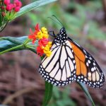A monarch butterfly finds nectar on a milkweed flower