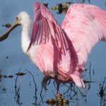A roseate spoonbill never fails to evoke wonder