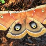 A female polyphemus silkmoth demonstrates its defensive posture after being prodded