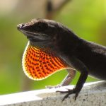 A male brown anole displays his dewlap for rivals and prospective mates