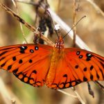 A newly emerged brilliant male Gulf fritillary butterfly