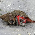 A horse conch stranded on the beach reveals its bright red body