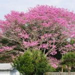 A Tabebuia tree from the tropics is covered with spectacular pink blooms