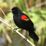 A breeding male red-winged blackbird is dependent on its fantastic red shoulder patch to defend a breeding territory