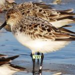 Sanderling V4Y first banded in Delaware and re-sighted on Palm Island, FL