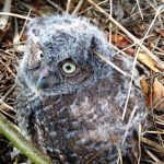 BABY screech owl who has jumped out of the box to see the world outside