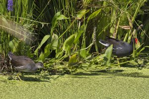 Common Gallinules