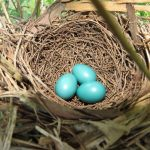 Nest and eggs of a catbird in a cypress sapling