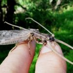 The male dobsonfly has long jaws used to fight with other males
