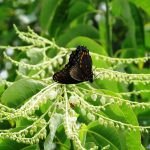 A red spotted purple butterfly hangs upside down to gain access to sourwood flower nectar