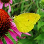 A sleepy orange butterfly nectars on a purple cone flower