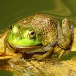 A female bullfrog with an eardrum about the same size as the eye