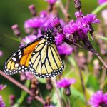 A monarch obtains nectar from the flowers of ironweed