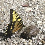 A tiger swallowtail is attracted to horse dung for the salty fluids