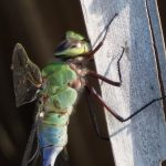 A male common green darner rests from its migratory journey