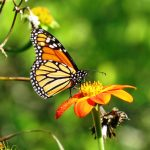 A monarch butterfly gathers nectar  on a Mexican sunflower