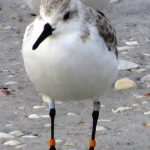 A sanderling banded in Saskatchewan is wintering in FL