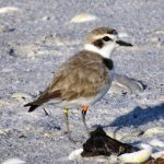 This male snowy plover bred in the Gulf Islands in the summer of 2014 and I photographed it on Palm Island in December of 2014 and 2015