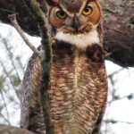 One of a pair of great horned owls which has been hooting next door