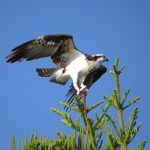 The female osprey displays from the top of a Norfolk Island pine