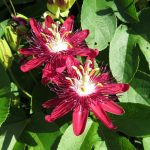 This exotic maroon colored passionvine is  attractive as food for Gulf fritillary caterpillars
