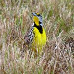 A meadowlark in breeding coloration sings an early spring song