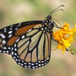 A monarch sips nectar from a Mexican milkweed in our yard