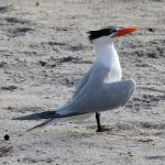 A royal tern is in breeding plumage and posturing for a potential mate