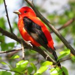 A male scarlet tanager that has migrated from tropical America