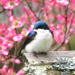 This male tree swallow is starting to breed in a box at our VA farm while the pink dogwoods are blooming