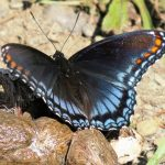 "A red spotted purple butterlfy is ""puddling"" on some mammalian feces to obtain sodium which is lacking in its herbivorous diet"
