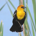 The male yellow headed blackbird is an impressive sight in a cattail marsh at Farmington Bay