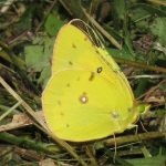 An orange sulphur butterfly collects nectar from the flowers and lays eggs on alfalfa