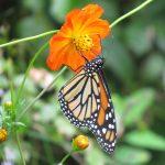 A monarch enjoys a sip of nectar from an orange cosmos