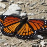 A viceroy butterfly is toxic from willows and mimics the toxic monarch