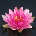 This last water lily flower of the season is as beautiful as the first