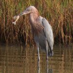 This reddish egret has caught a shrimp and is a larger heron with unusual behaviors for catching fish