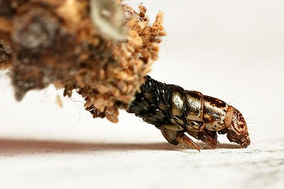 The Bagworm - It Builds a House and Comes To Eat Your Plants