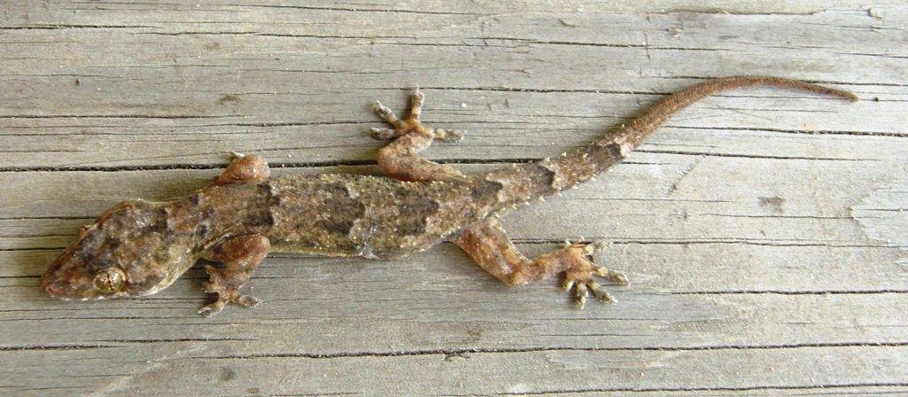 virgin birth of a lizard